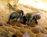 Руфина Шагапова приняла участие в обсуждении проблемы сохранения бурзянской пчелы